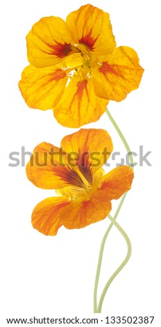 Studio Shot of Yellow and Orange Colored Nasturtium Flowers Isolated on White Background. Large Depth of Field (DOF). Macro. Symbol of Patriotism and Conquest. - stock photo