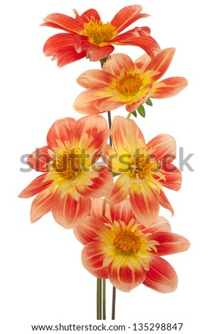 Studio Shot of Yellow and Red Colored Dahlia Flowers Isolated on White Background. Large Depth of Field (DOF). Macro. Symbol of Elegance, Dignity and Good Taste. - stock photo