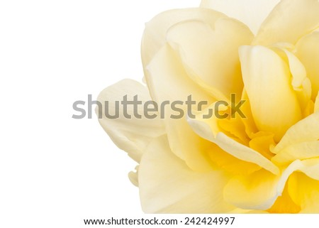 Studio Shot of Yellow Colored Daffodil Flower Background. Large Depth of Field (DOF). Macro. Symbol of Self-love and Respect. - stock photo