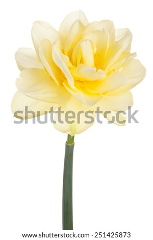 Studio Shot of Yellow Colored Daffodil Flower Isolated on White Background. Large Depth of Field (DOF). Macro. Symbol of Self-love and Respect. - stock photo