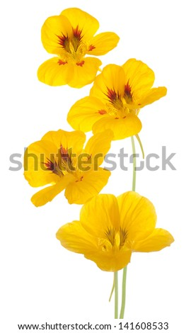 Studio Shot of Yellow Colored Nasturtium Flowers Isolated on White Background. Large Depth of Field (DOF). Macro. Symbol of Patriotism and Conquest. - stock photo