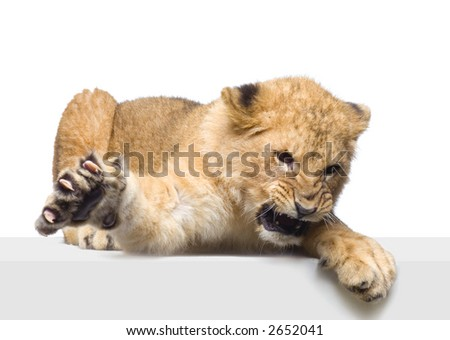 studio Shots of Lion Cub (seven months) lying down in front of a white background. All my pictures are taken in a photo studio. - stock photo