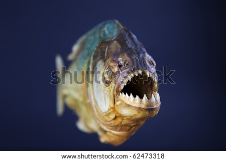 Stuffed piranha fish, frontal view, jaws - stock photo