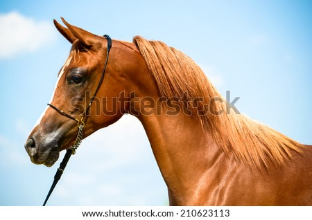 stunning arab horse portrait from a side angle - stock photo