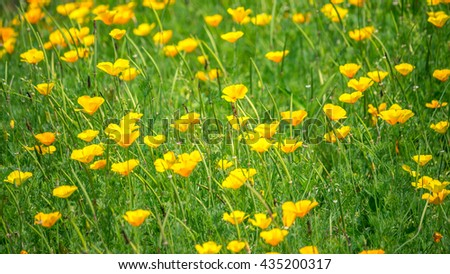 Stunning buttercup yellow flowers of Eschscholzia californica (Californian poppy,golden poppy, California sunlight, cup of gold) a species of flowering plant in family Papaveraceae are bright. - stock photo