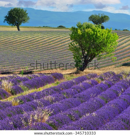 Stunning landscape with lavender field and big trees. Plateau of Valensole, Provence, France  - stock photo