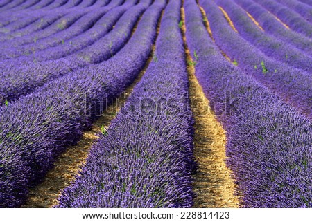 Stunning landscape with lavender field at sunset. Plateau of Valensole, Provence, France. Small depht of field - stock photo