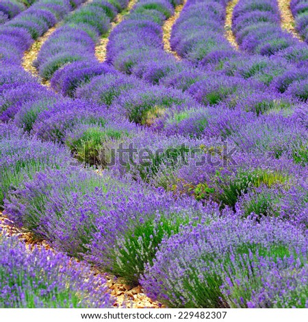 Stunning landscape with lavender field. Plateau of Sault, Provence, France. Small depht of field - stock photo