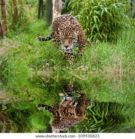 Stunning portrait of jaguar big cat Panthera Onca prowling through long grass in captivity reflected in calm water - stock photo