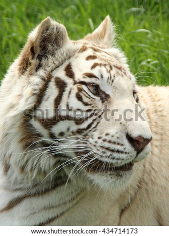 Stunning RARE white TIGER portrait. Close up endangered hybrid tiger relaxing. - stock photo