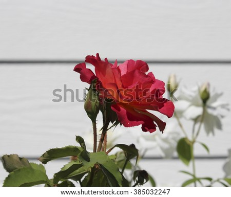 Stunningly  magnificent romantic beautiful   bright  red  hybrid tea   rose blooming against a white wall   in  early autumn   adds fragrance and color to the urban  landscape. - stock photo
