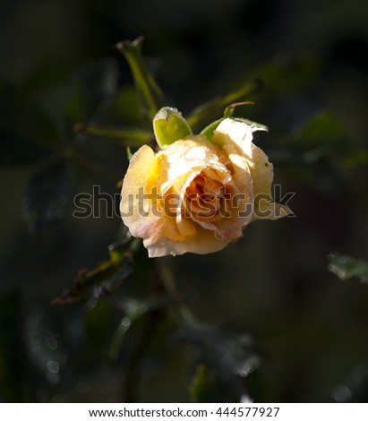 Stunningly  magnificent romantic beautiful canary yellow flushed pink  hybrid tea rose blooming  in spring, summer and  autumn after a shower of rain  adds fragrance and color to the urban  landscape. - stock photo