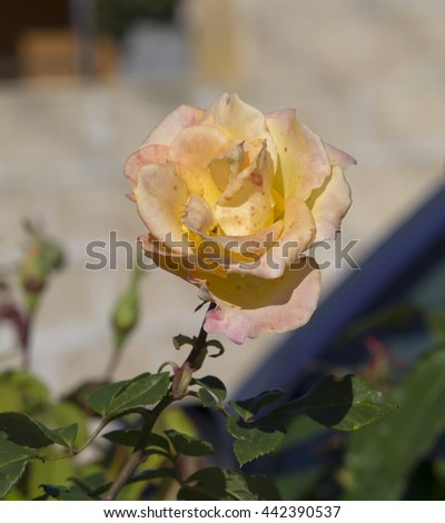 Stunningly  magnificent romantic beautiful canary yellow hybrid tea  rose blooming  in spring, summer and  autumn after a shower of rain  adds fragrance and color to the urban  landscape. - stock photo
