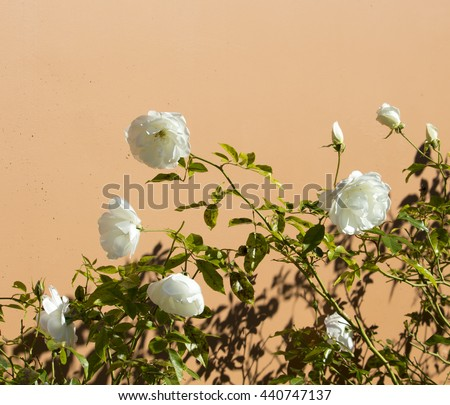 Stunningly magnificent romantic beautiful pure  snow white Iceberg roses blooming in early winter against a pale tan wall  add fragrant charm to the garden despite having black spot fungus on leaves. - stock photo