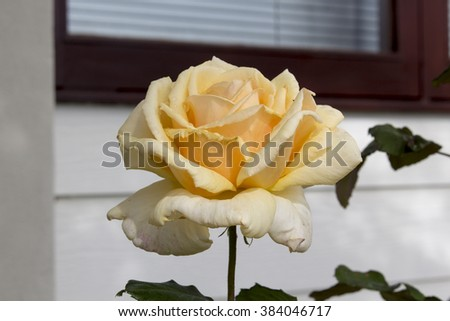 Stunningly  magnificent romantic beautiful soft yellow  hybrid tea   rose blooming  in spring, summer and  autumn   adds fragrance and color to the urban  landscape. - stock photo