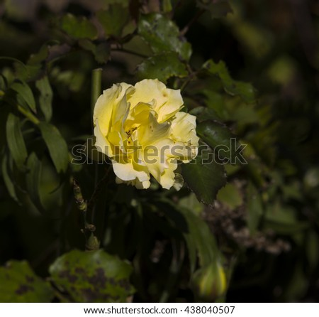 Stunningly  magnificent romantic beautiful yellow  rose blooming in early  winter adds fragrance and beauty to the garden landscape. - stock photo
