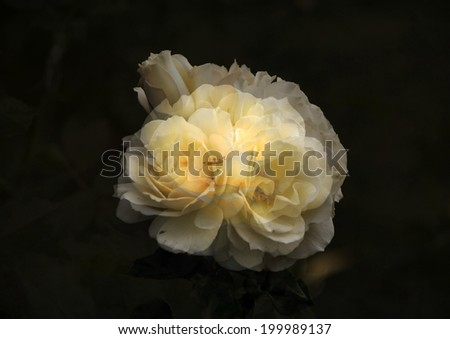 Stunningly  magnificent romantic superimposed  beautiful buff yellow   retro rose blooming in early winter  adds fragrant charm to the garden scape  and is ideal for a grungy background or wallpaper. - stock photo