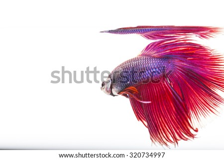 Style of colorful beauty betta fish on white background - stock photo