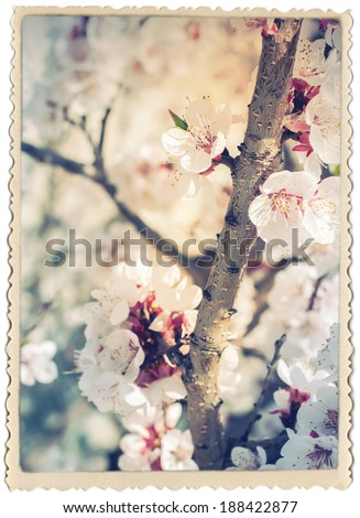 Stylization under the Vintage Card with Cherry Blossoming. Natural Background, Spring flowers, isolated on white - stock photo