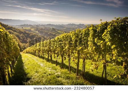 Styrian Tuscany Vineyard at summer  sunset, Austria  - stock photo