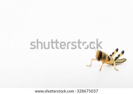 subadult desert locust (live reptile food) - stock photo