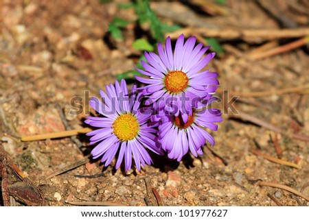 Subalpine Fleabane - stock photo