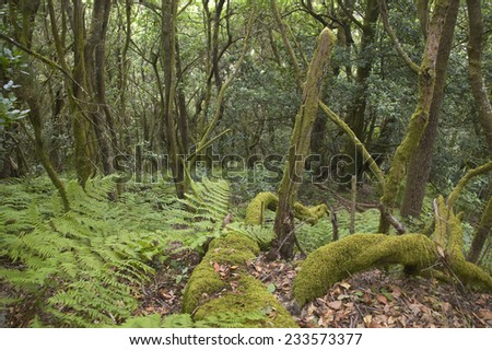Subtropical laurisilva forest in Gomera. Canary Island. Spain. Horizontal - stock photo