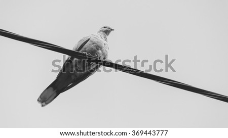 Suburban dove sitting on metal wire and look around, black and white image - stock photo