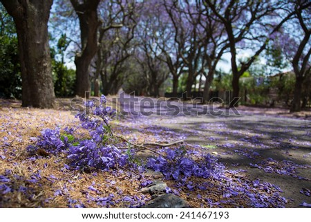 Suburban road with line of jacaranda trees and small branch with flowers on - stock photo