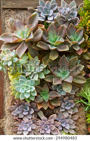 Succulent drought resistant plants in a vertical garden wall - stock photo