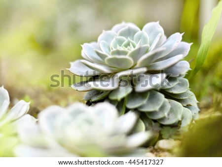 Succulent or agave plant in the sun with copy space. Selective focus of a desert plant with defocused background. Echeveria.  - stock photo