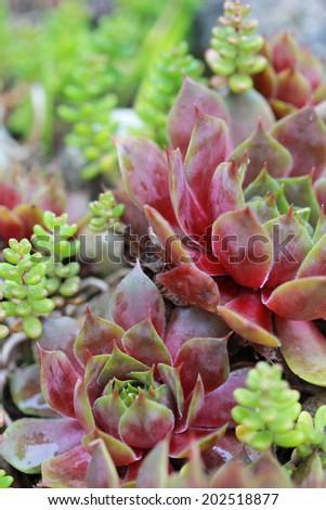 succulent, sempervivum houseleek background - stock photo