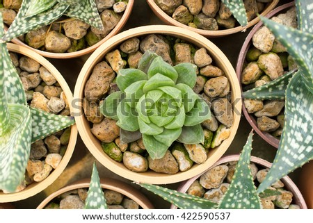 Succulents or cactus in pot. - stock photo