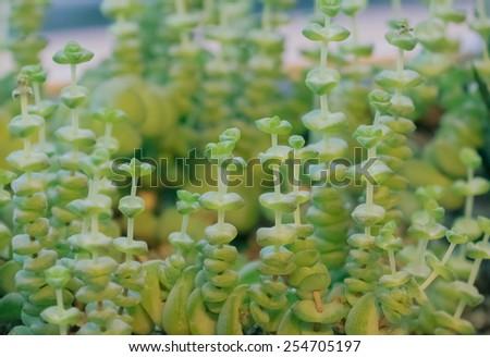 succulets crassula marnieriana - stock photo