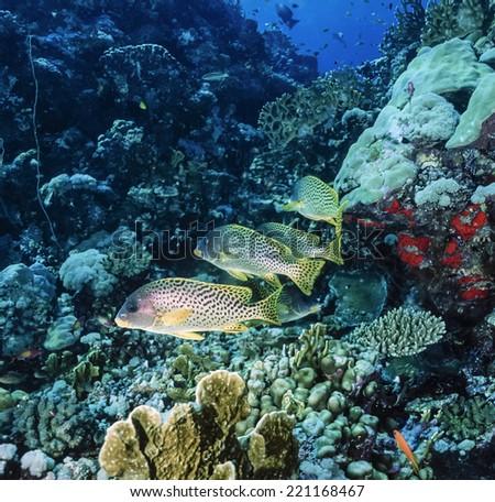 SUDAN, Red Sea, U.W photo, Blackspotted sweetlips (Plectorhinchus gaterinus) - FILM SCAN - stock photo
