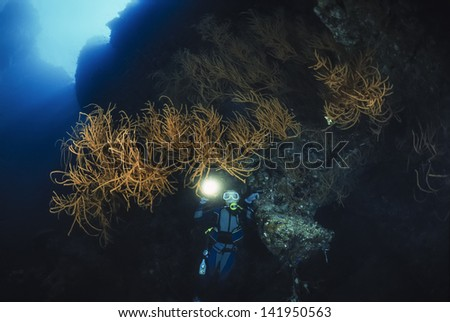 SUDAN, Red Sea, U.W. photo, diver and Black Coral (Family Antipathidae) - FILM SCAN - stock photo