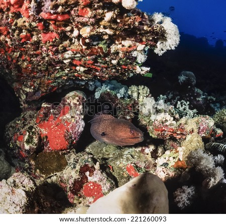 SUDAN, Red Sea, U.W. photo, tropical moray eel - FILM SCAN - stock photo