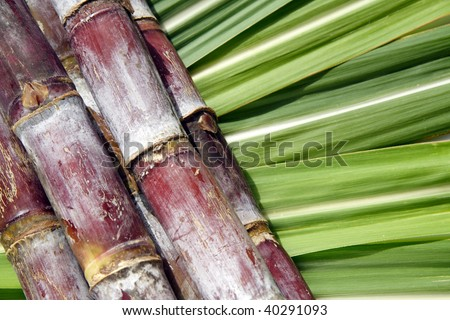 Sugar cane - stock photo
