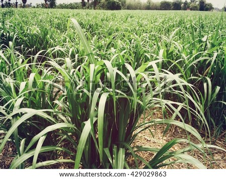 Sugar cane farmland with blurry background.  - stock photo