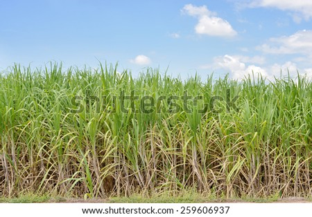 sugar cane field wiht blue sky and cloud - stock photo
