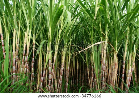 sugar cane fields, culture tropical and planetary stake on biocarburant - stock photo