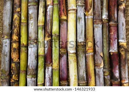 Sugar cane varieties - stock photo