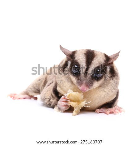 Sugar glider eating bread on white background - stock photo