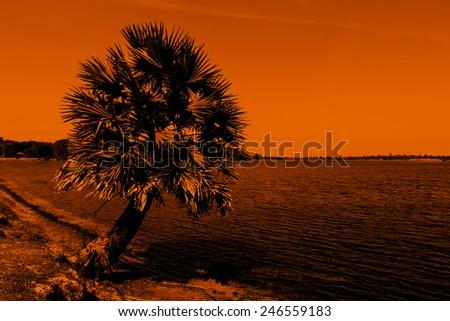 Sugar palm tree - stock photo