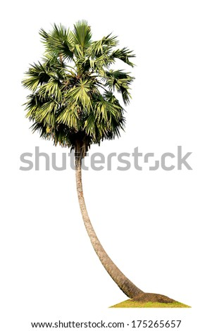 Sugar palm tree isolated on white - stock photo