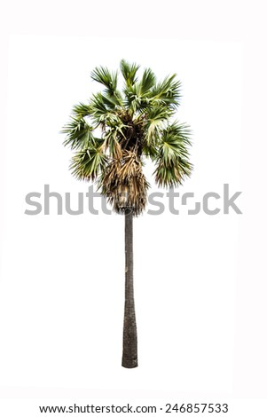 Sugar palm tree isolated on white background - stock photo