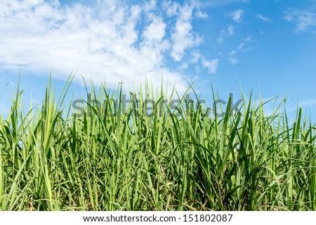 Sugarcane and blue sky background - stock photo