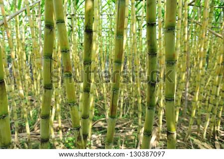 sugarcane field - stock photo