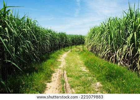 Sugarcane field and road with white cloud in Thailand - stock photo