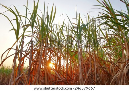 Sugarcane field at sunset. - stock photo